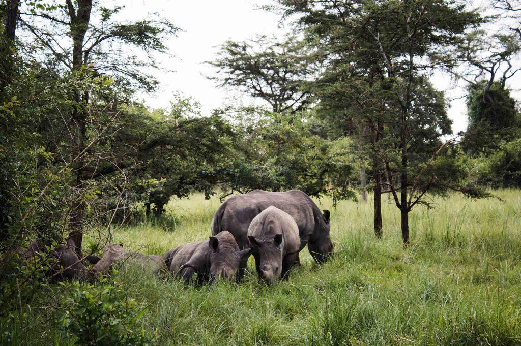 Rhinos Pearl of Africa