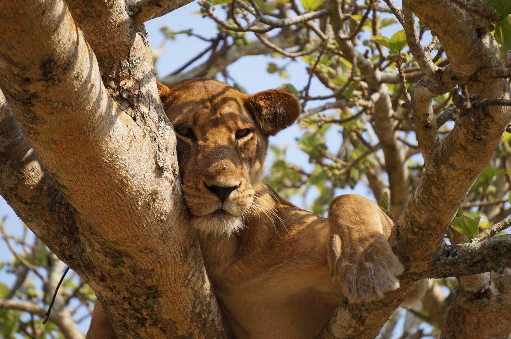 lioness queen Elizabeth National Park, Pearl of Africa, Uganda
