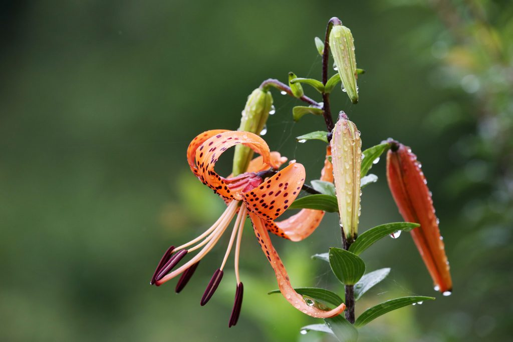 Tiger lily, Bhutan travel guide