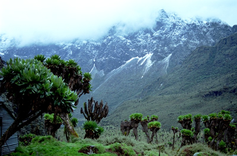 Giant groundsels Rwenzori Mountains Uganda