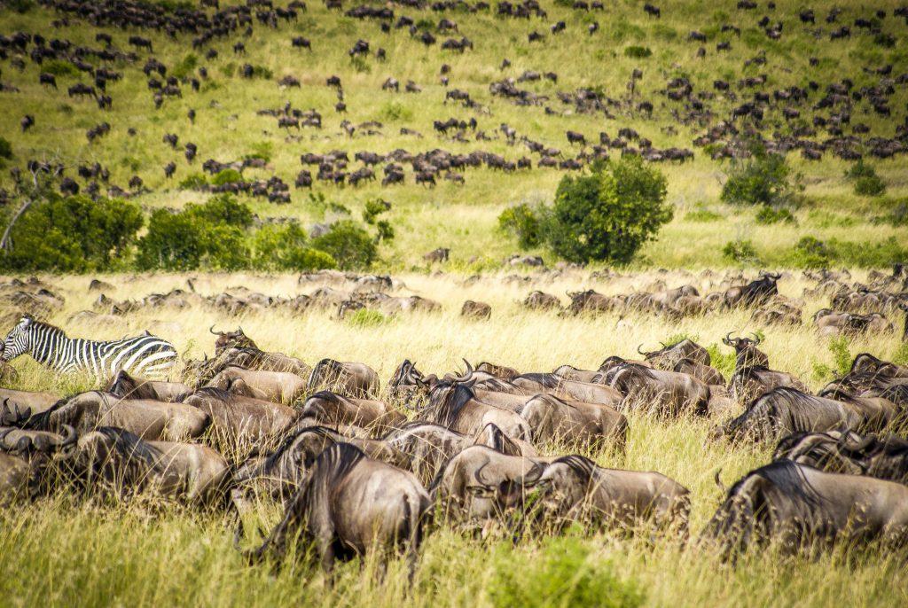 Wildebeests Great Wildlife Migration