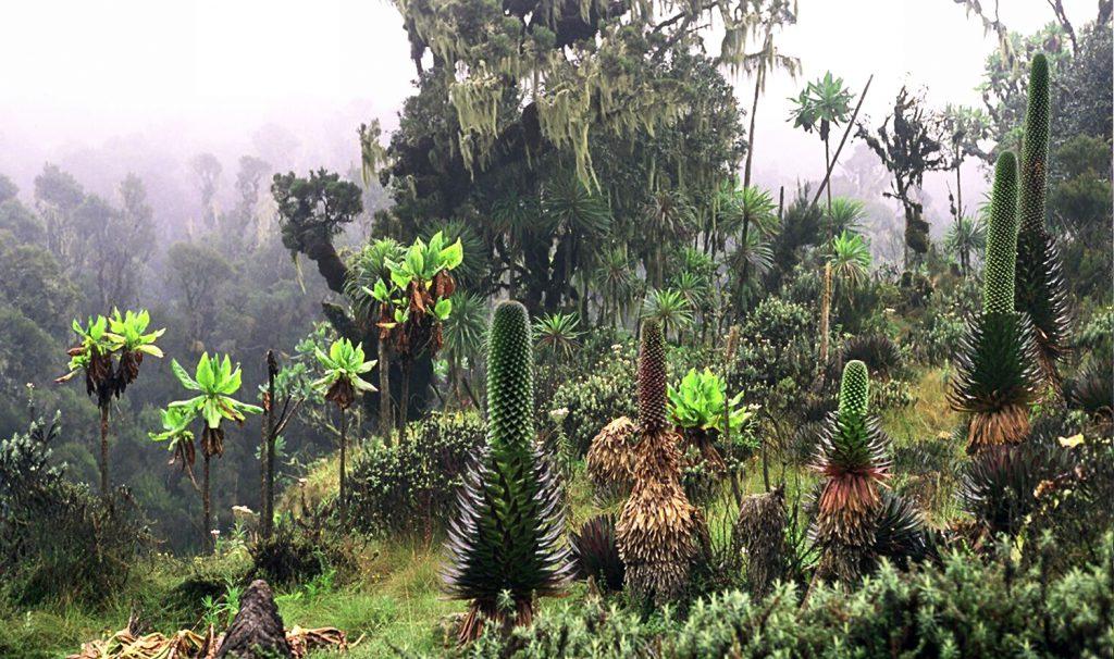 The Rwenzori Mountains mist Uganda giant lobelias