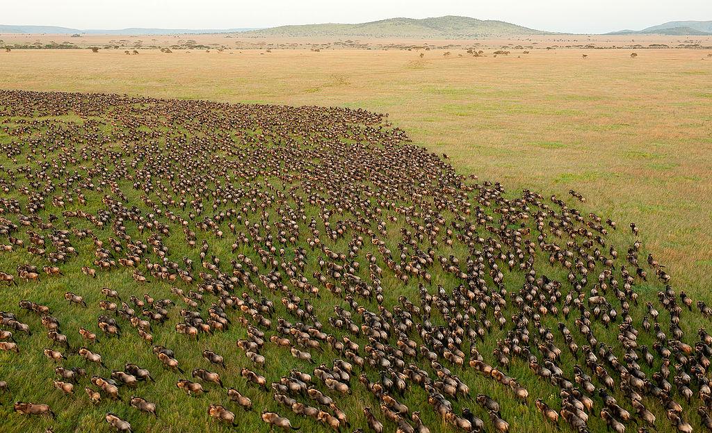 Great Wildebeest Migration Tanzania safari aerial view