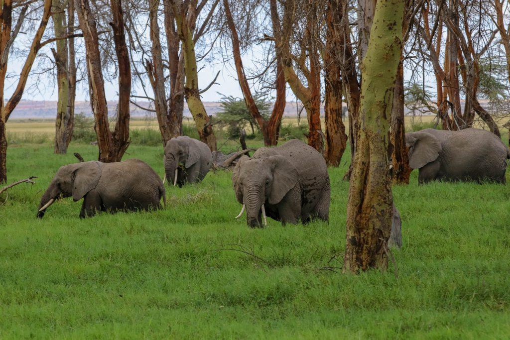 elephants Amboseli NP Kenya African safari