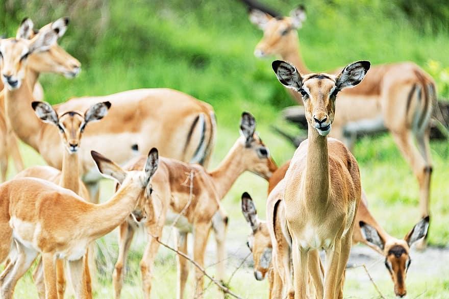 Impalas Great Migration
