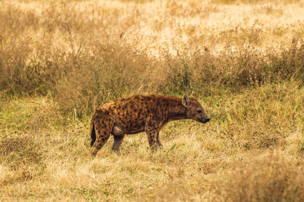 Spotted hyena, African safari