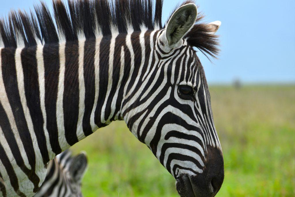 Close up of zebra Great Wildlife Migration