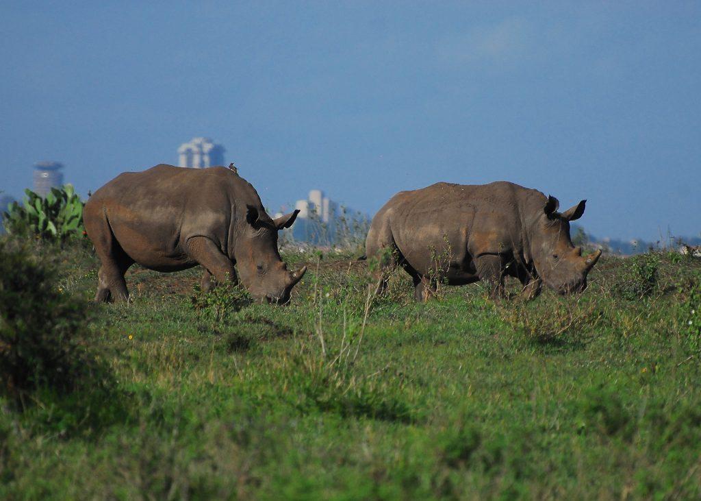 Black rhinos Nairobi Kenya