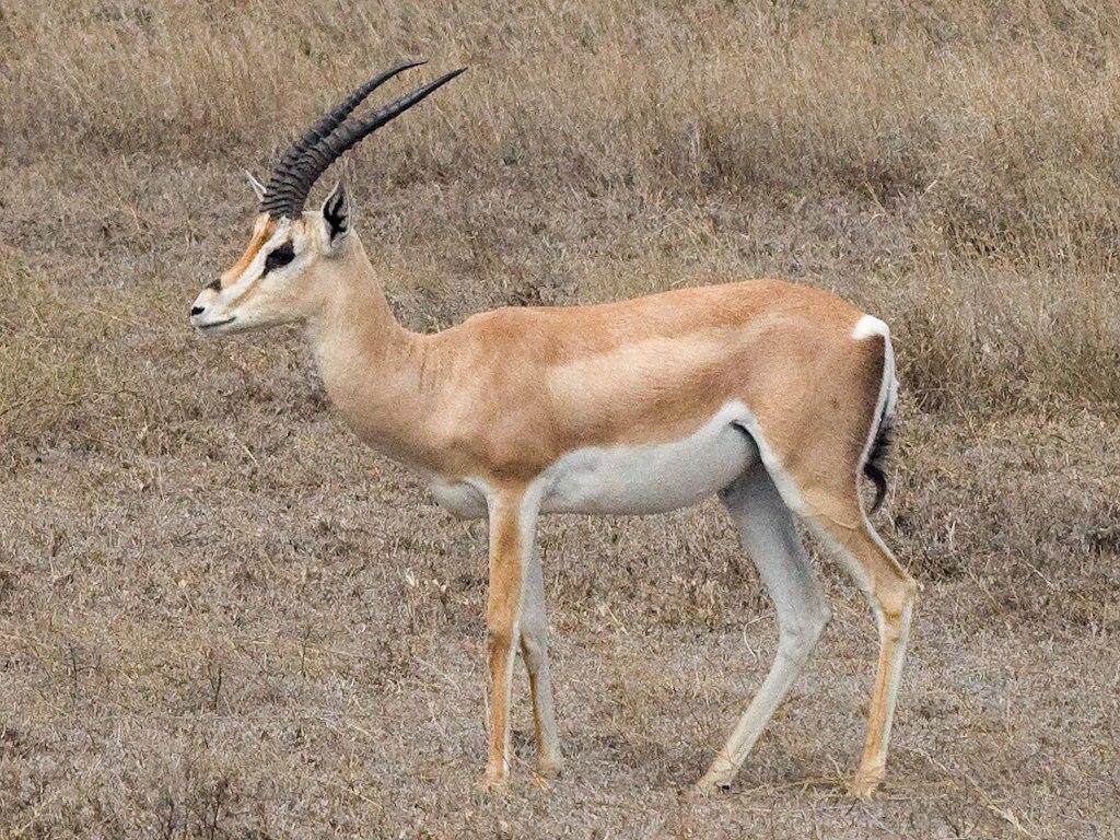 GRant's gazelle, Serengeti Tanzania
