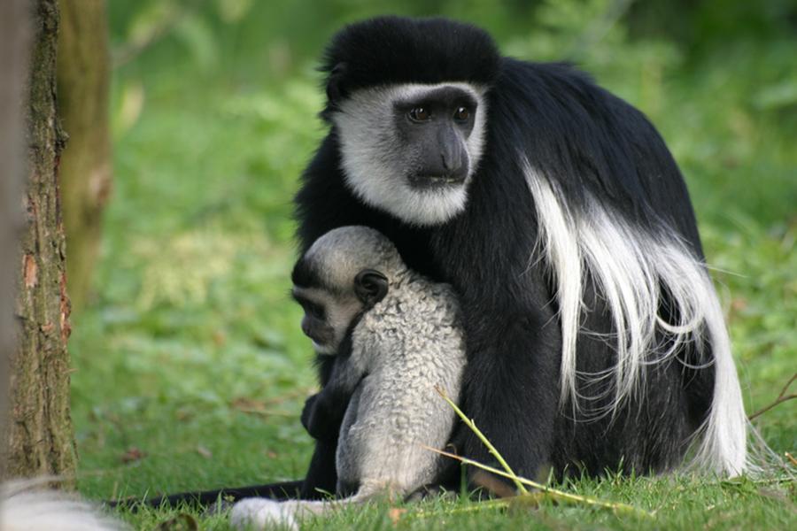 back and white colobus monkey Tanzania safari