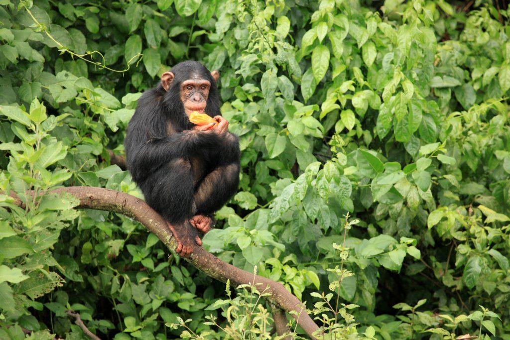 chimpanzee Uganda Pearl of Africa