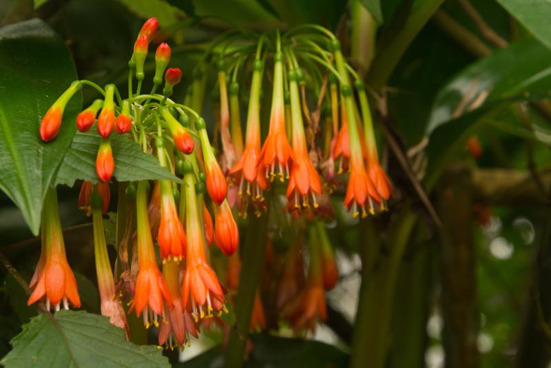 Rwenzori Mountains flowers