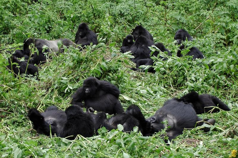 Gorilla troop Uganda
