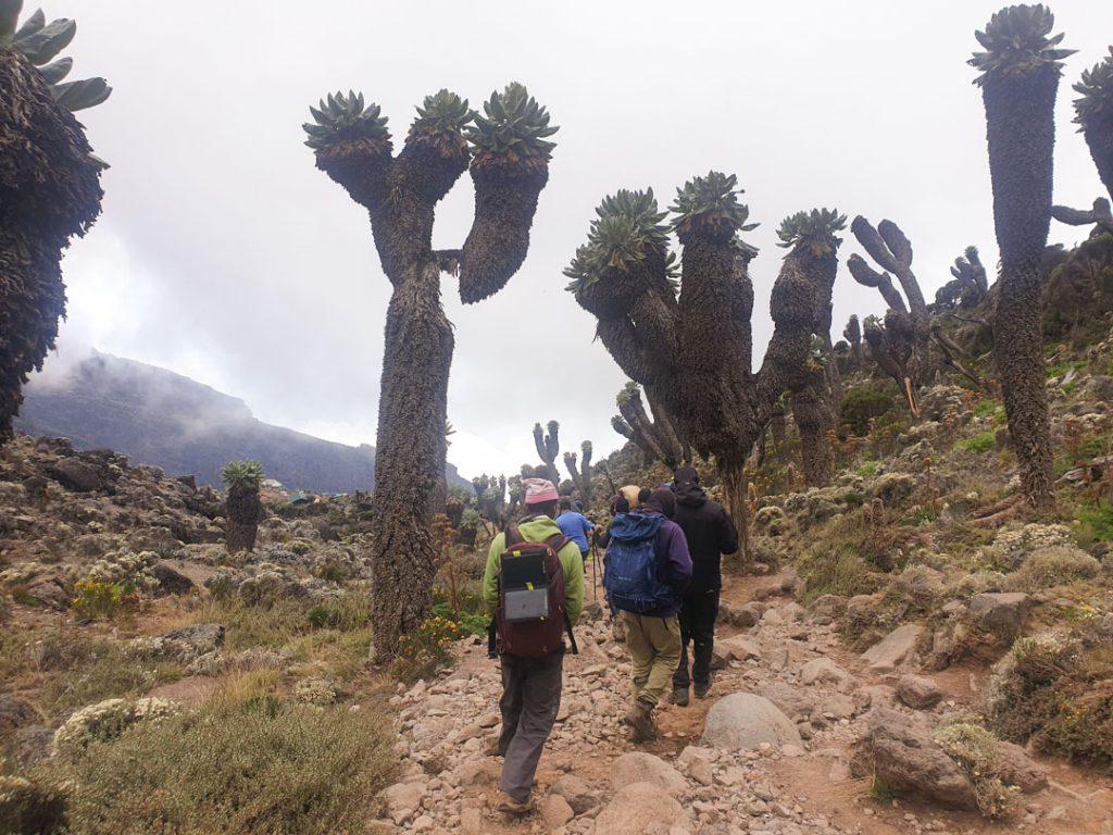 Kilimanjaro giant groundsels
