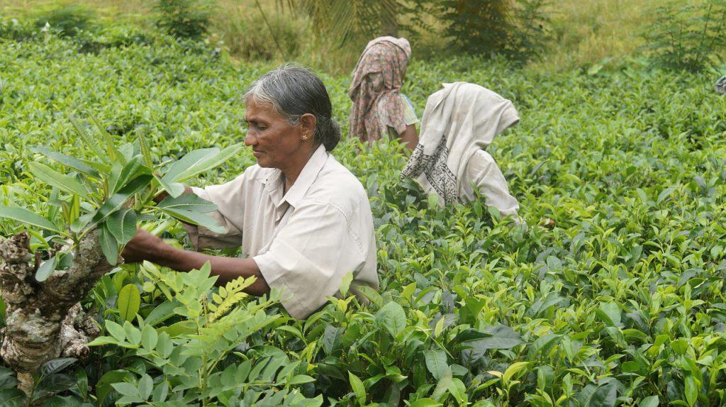 Women harvesting tea leaves in Sri Lanka