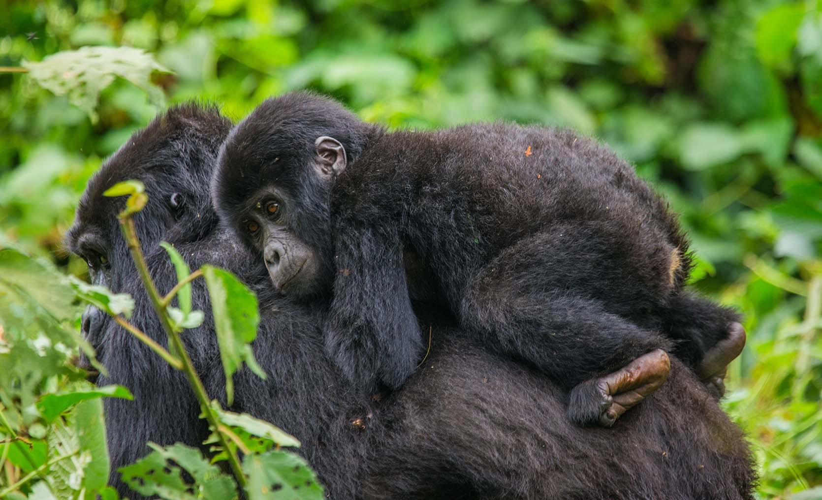 Mother and infant gorillas