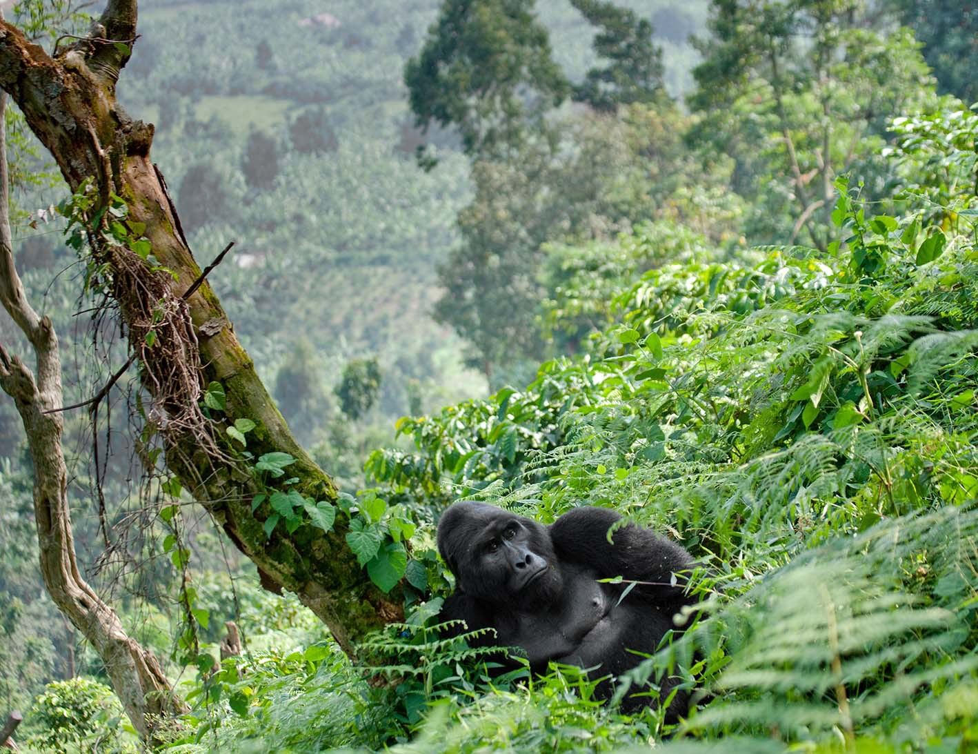 Male gorilla in forest