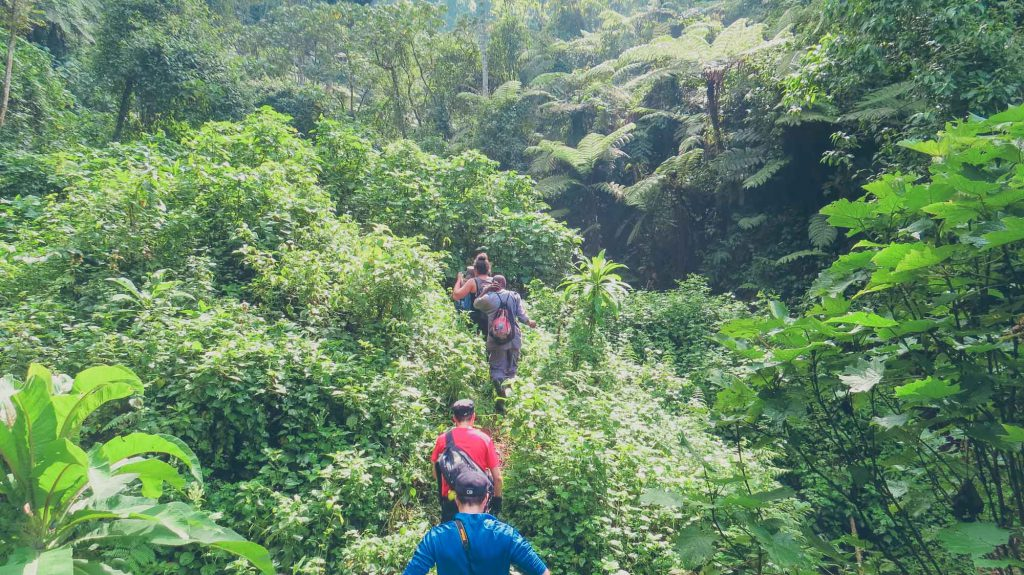 Gorilla Trekking through the beautiful green Bwindi Impenetrable National Park