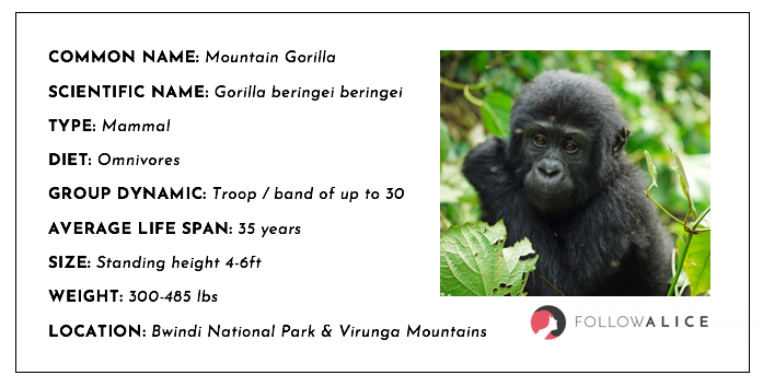 Mountain gorilla  fact sheet