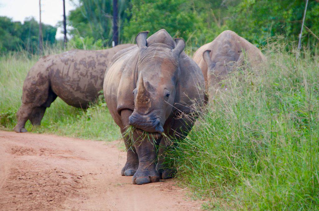 Spotting rhinos in Ziwa Rhino Sanctuary