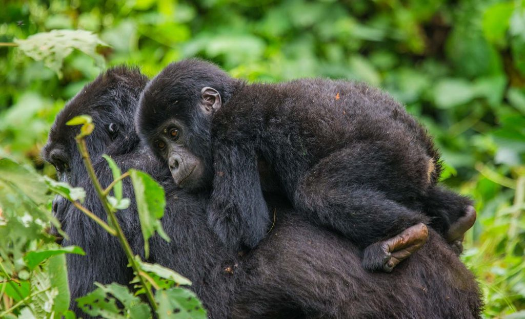 Gorilla infant on mother's back