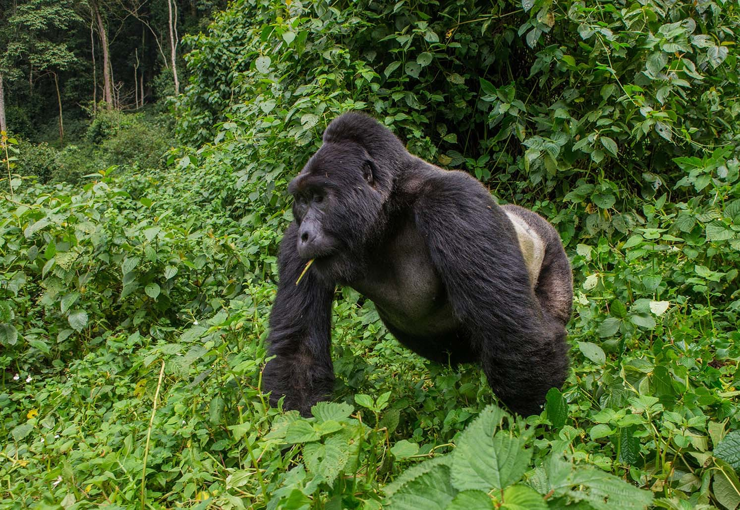 Each family of gorillas is accompanied by one male silverback