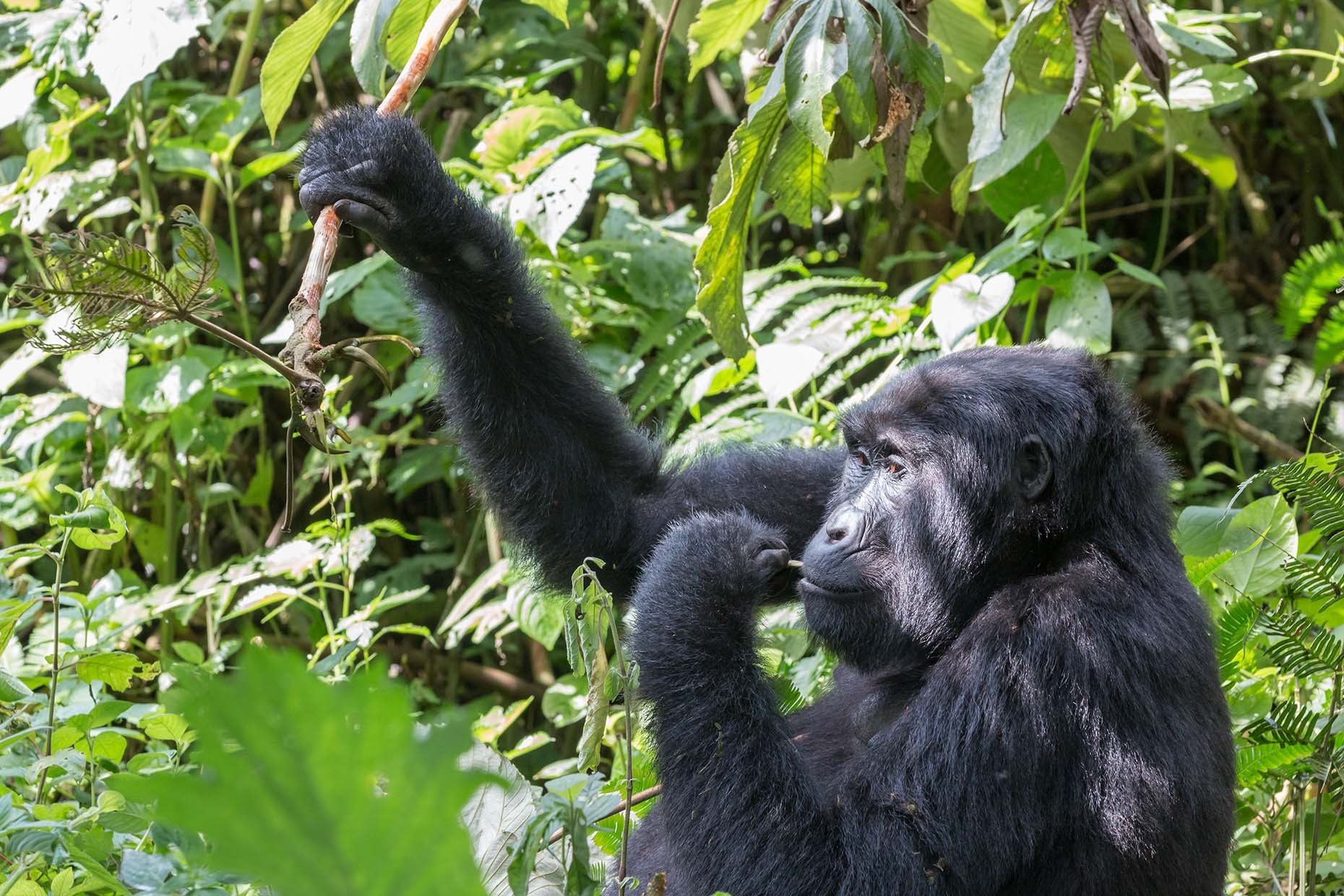 Gorilla eating in the forest