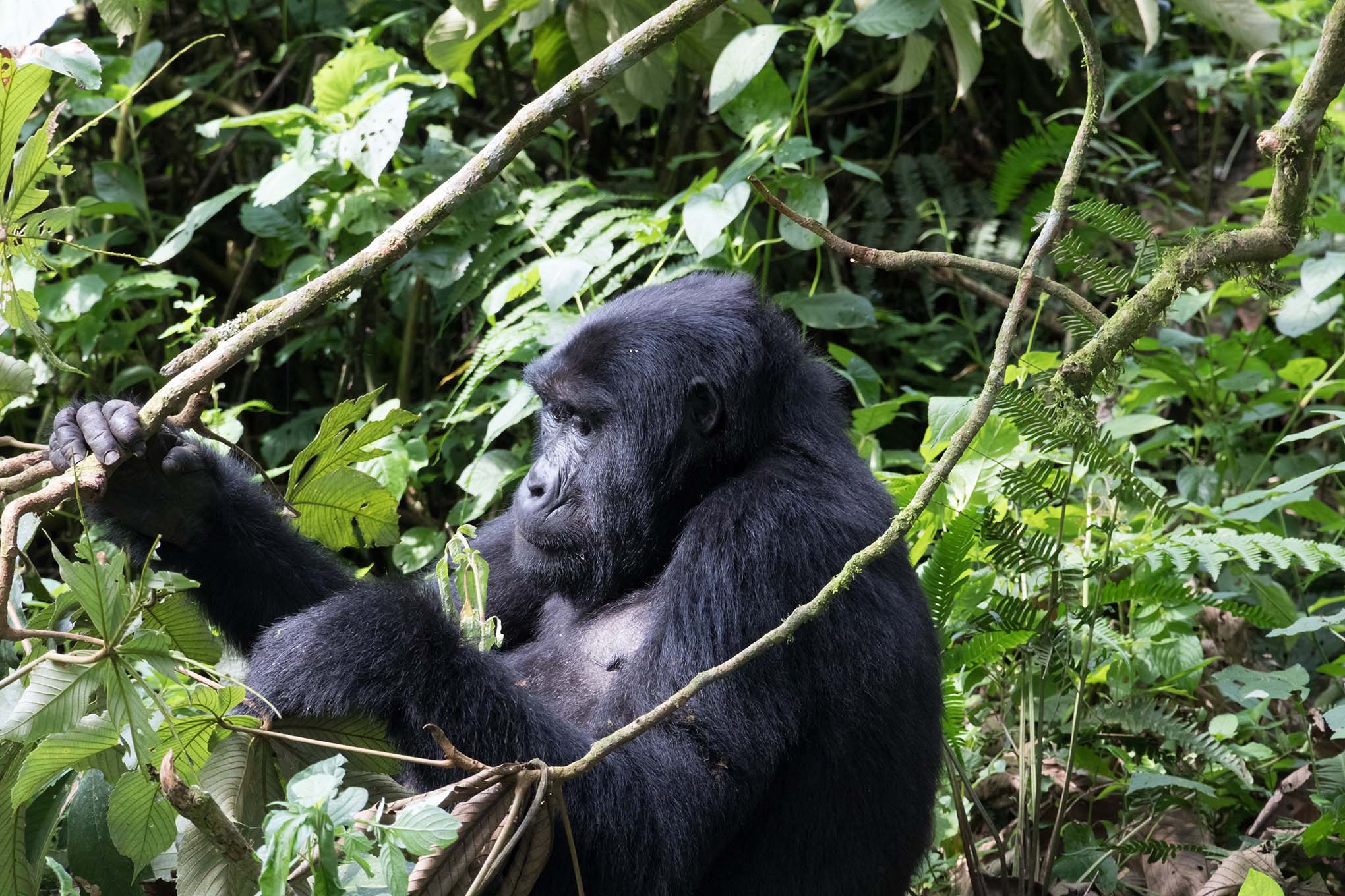 You can only find these beautiful mountain gorillas in two places in the entire world - Uganda is one of them!