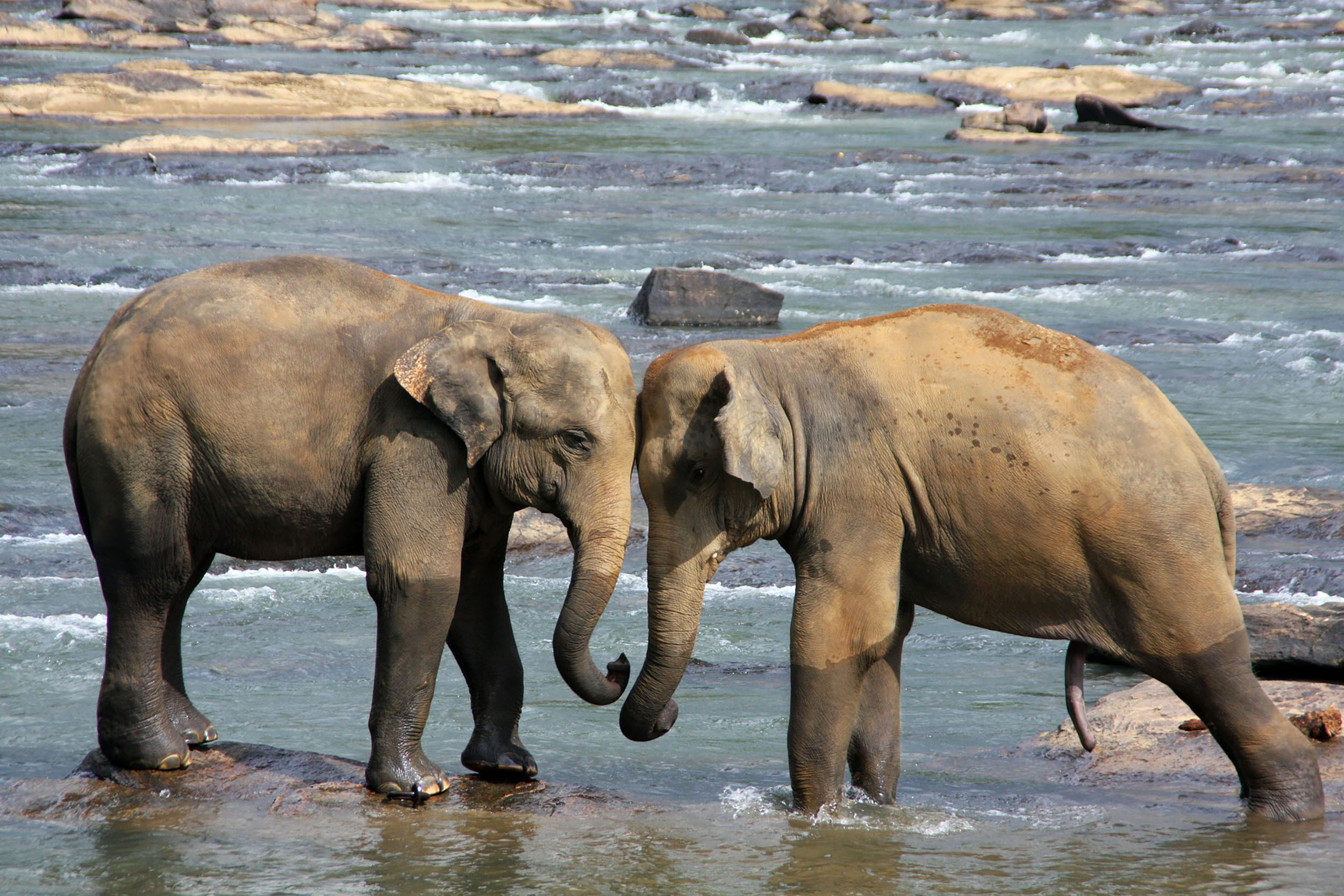 Sri Lanka is famous for its population of elephants