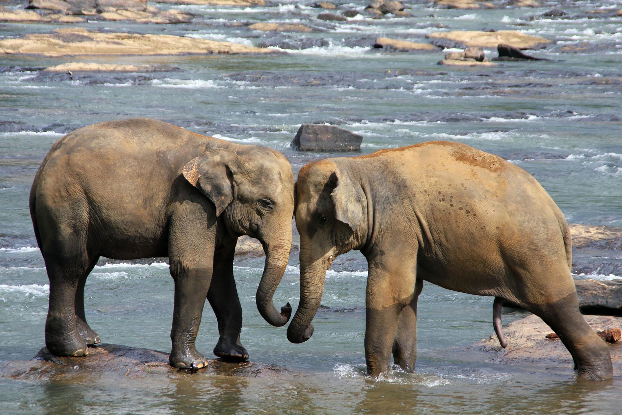 Sri Lanka is famous for its population of elephants