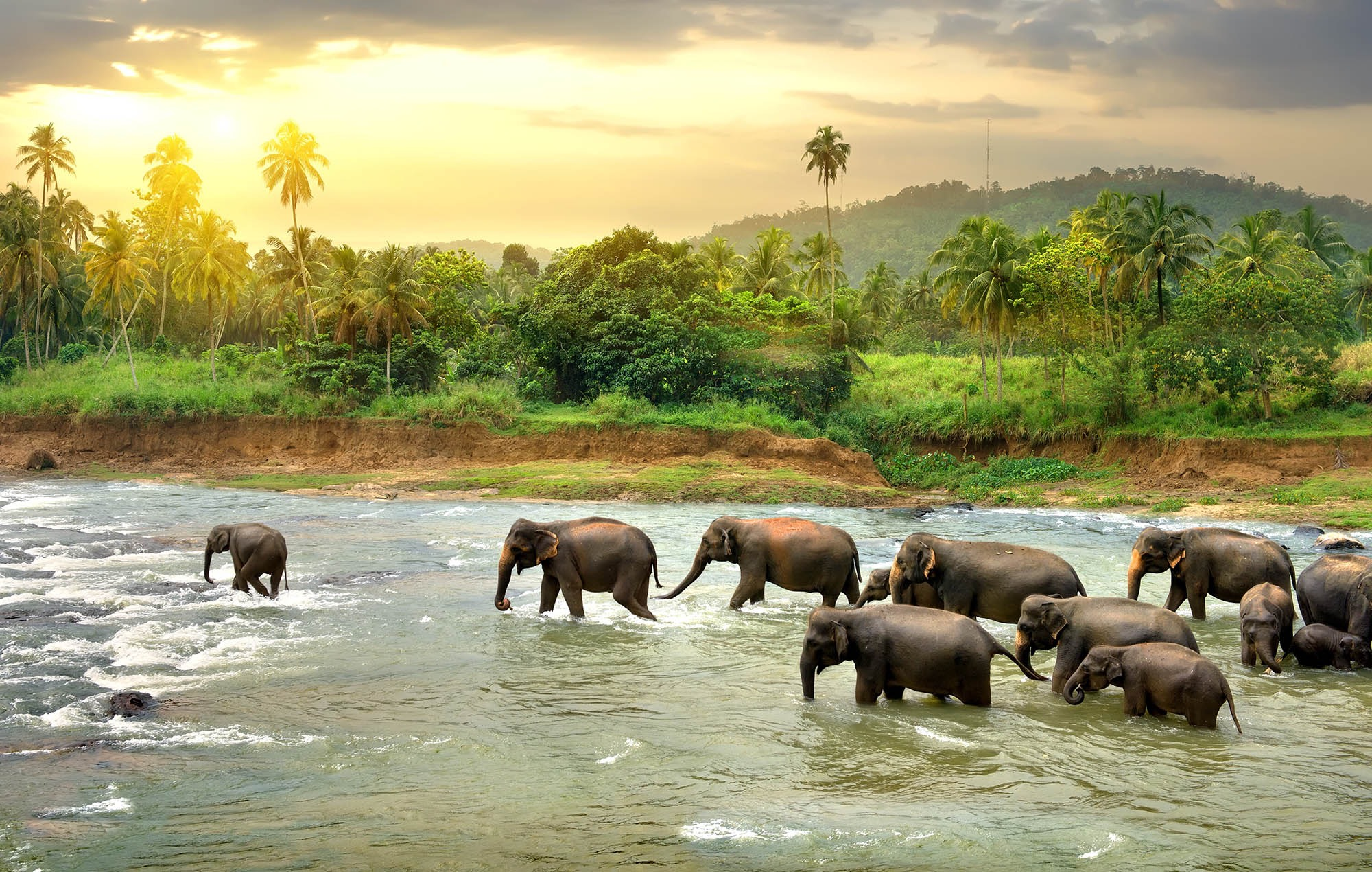 Sri Lanka elephants crossing the river