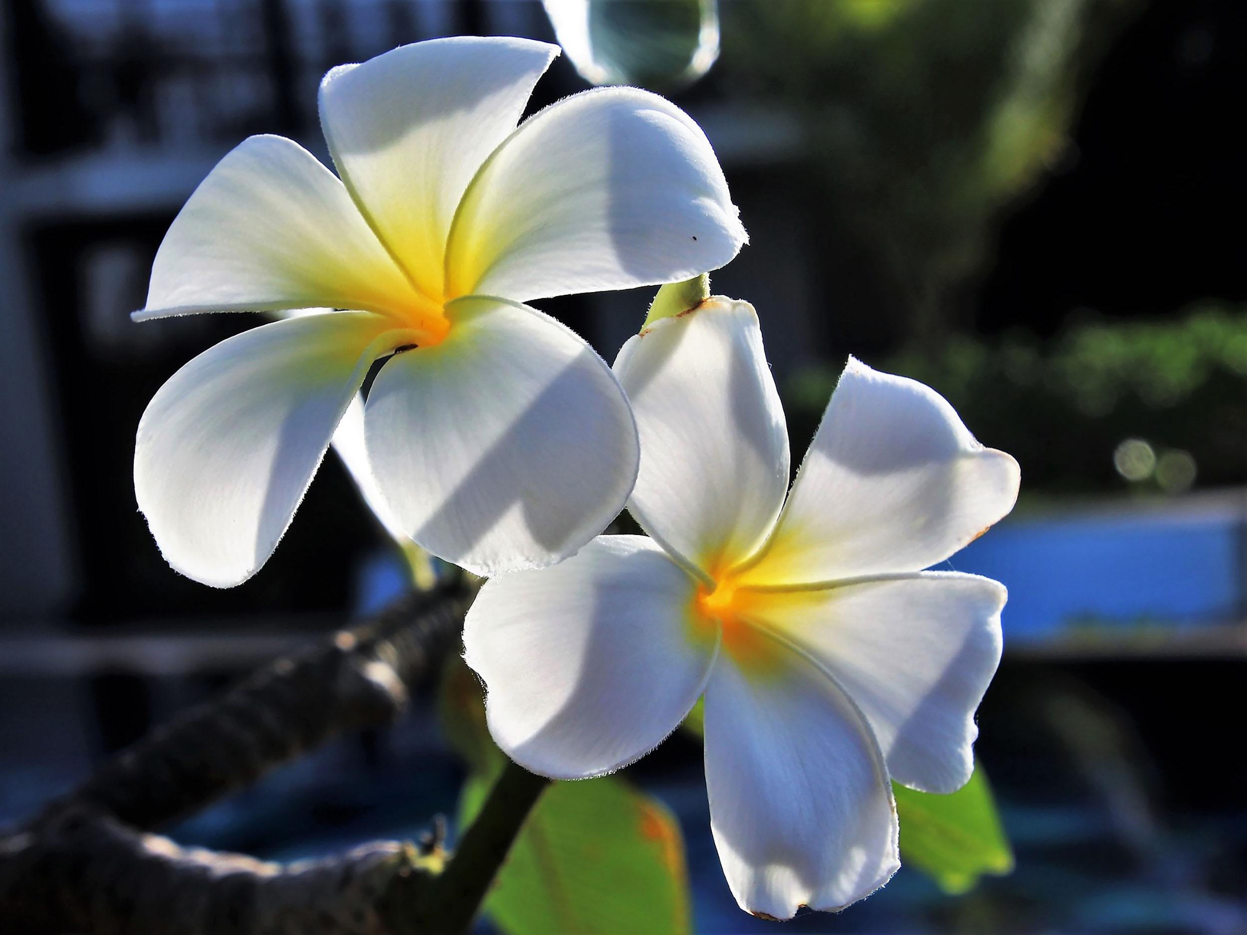 Frangipanis can be found everywhere in Sri Lanka