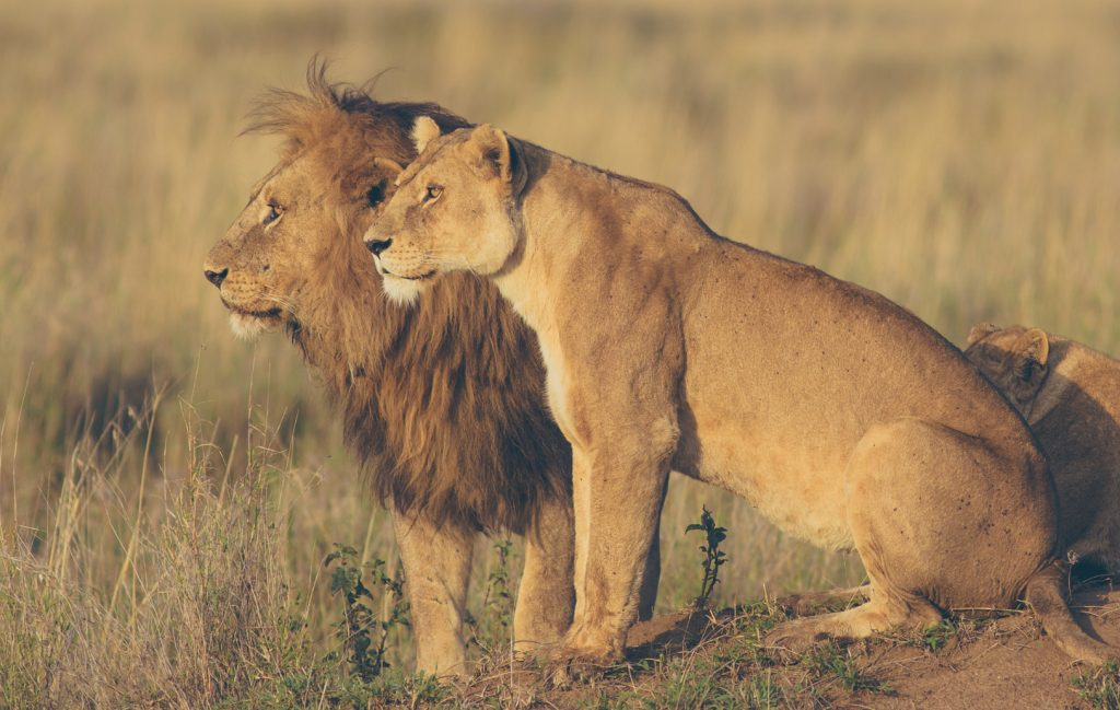 Male and female lion. Safari a best thing to do after climbing Kilimanjaro