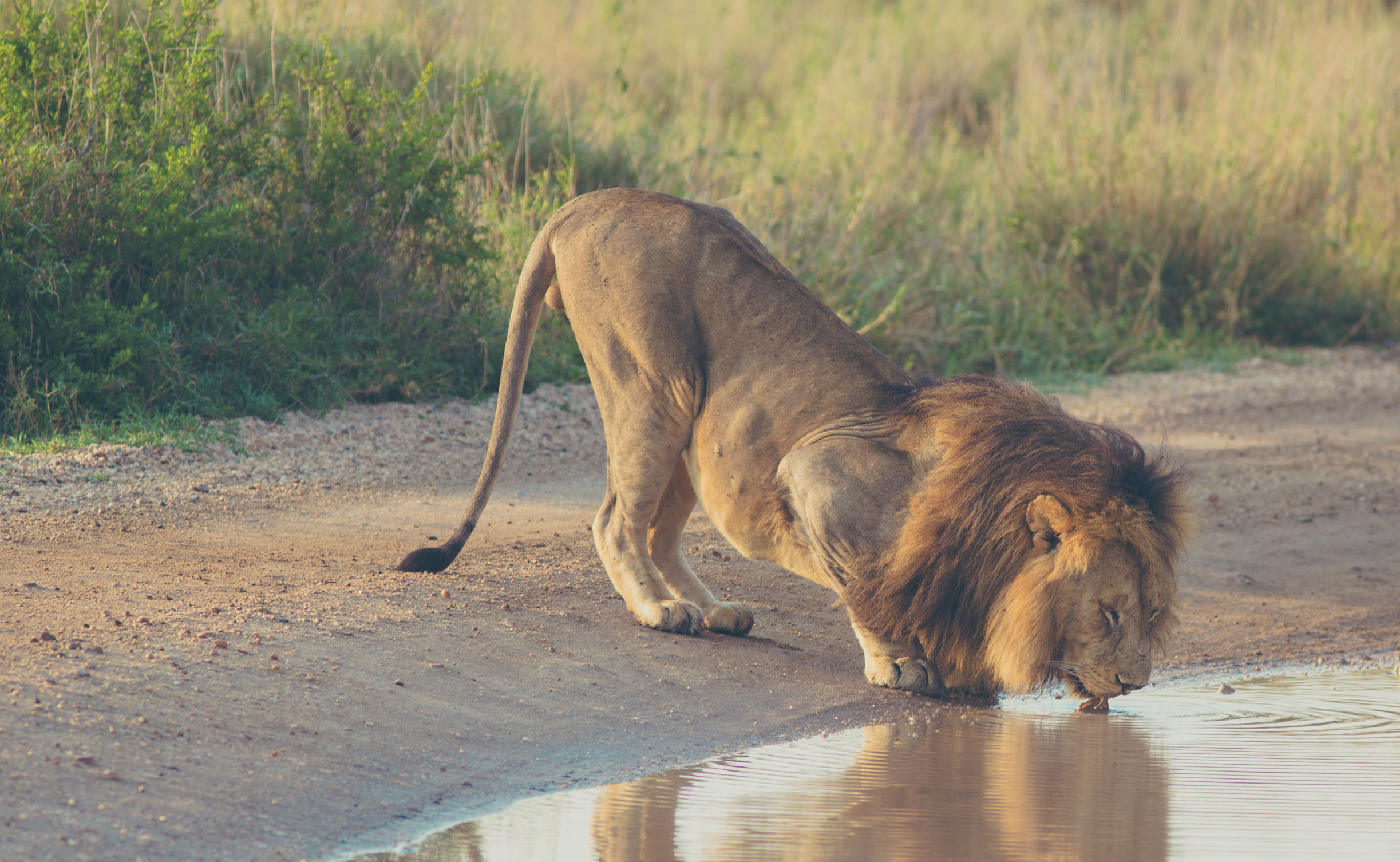 Serengeti is home to more than 2,000 lions