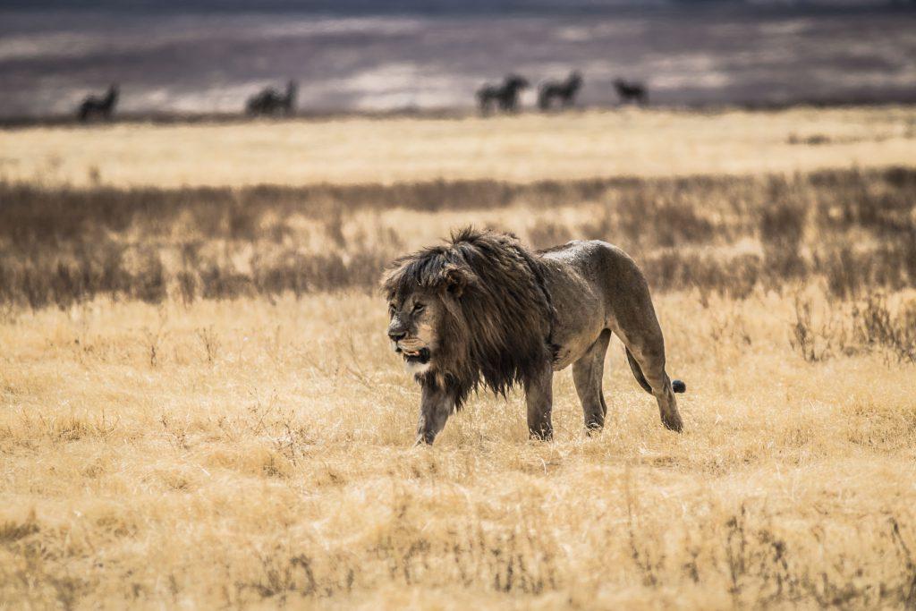 Male lion in Ngorongoro