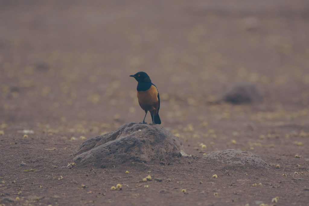 Hilderbrandt's starling on rock