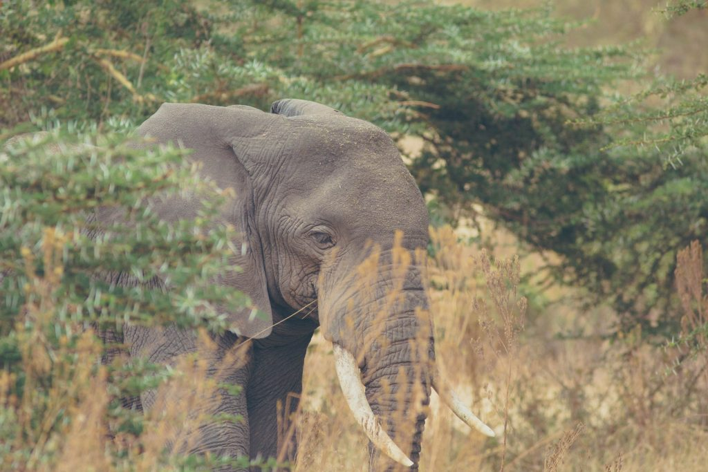 Elephant hiding behind bushes tanzania safari Ngorongoro crater