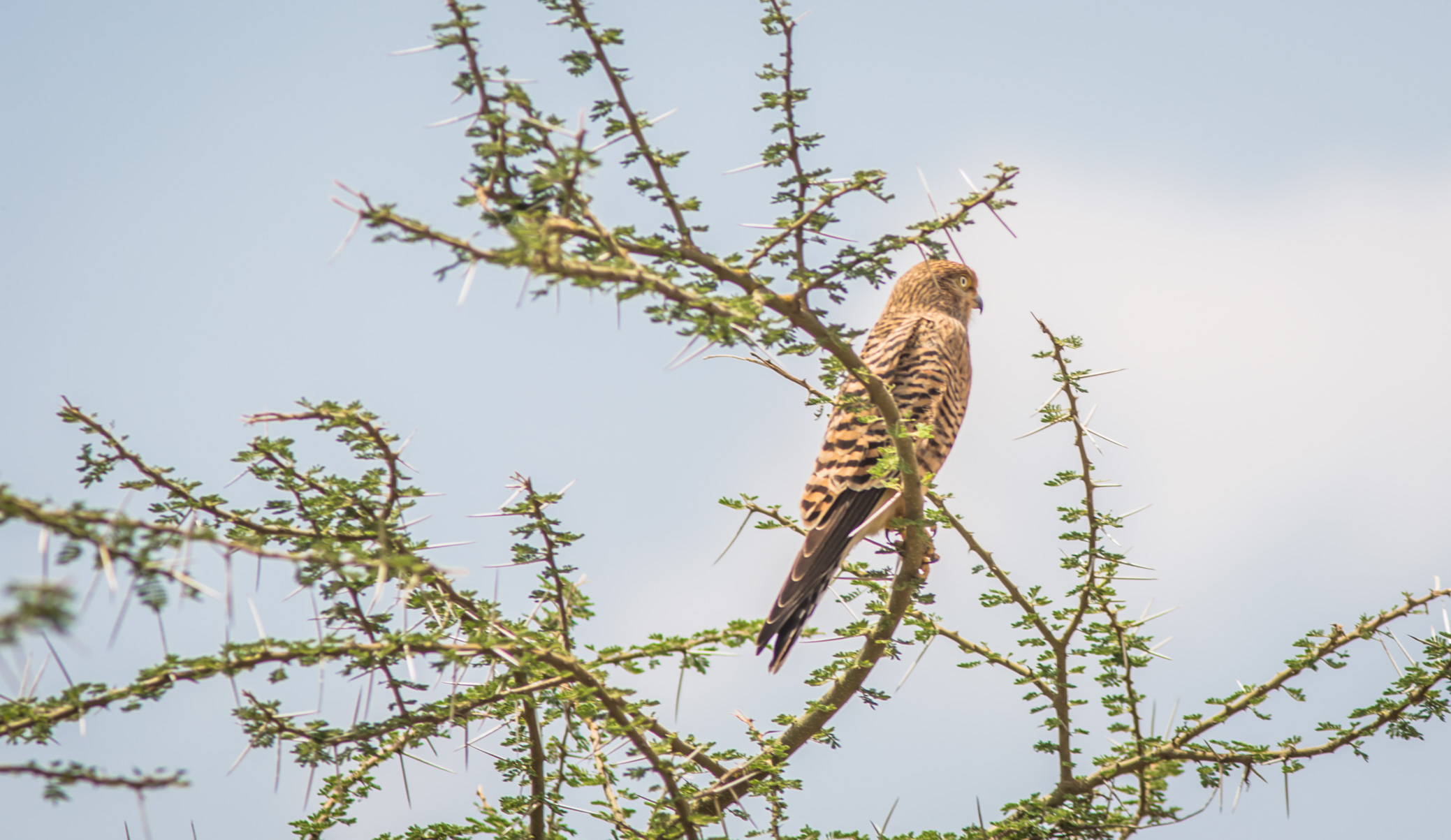 Greater kestrel in Serengeti National Park