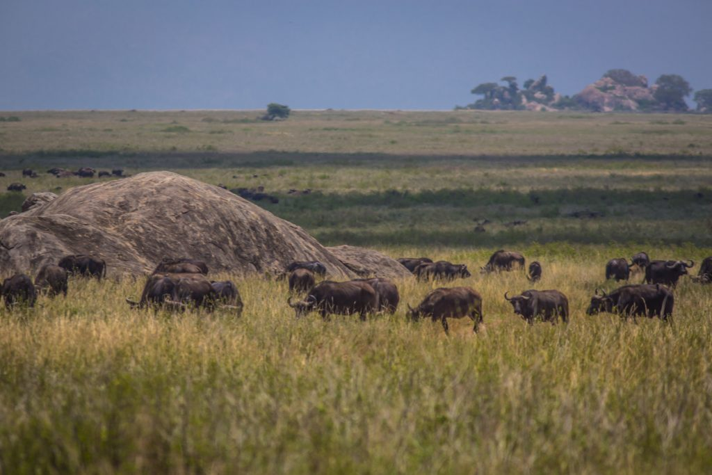 Buffalo migrating through the serengeti during safari