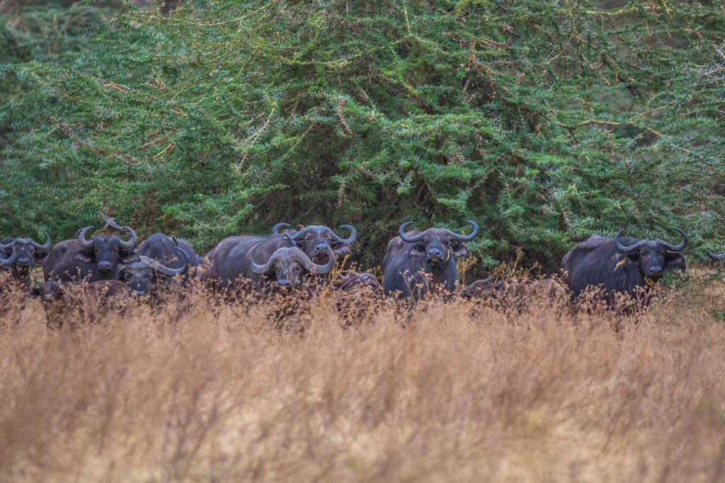 Buffaloes in Ngorongoro crater - 2020 adventure trip idea