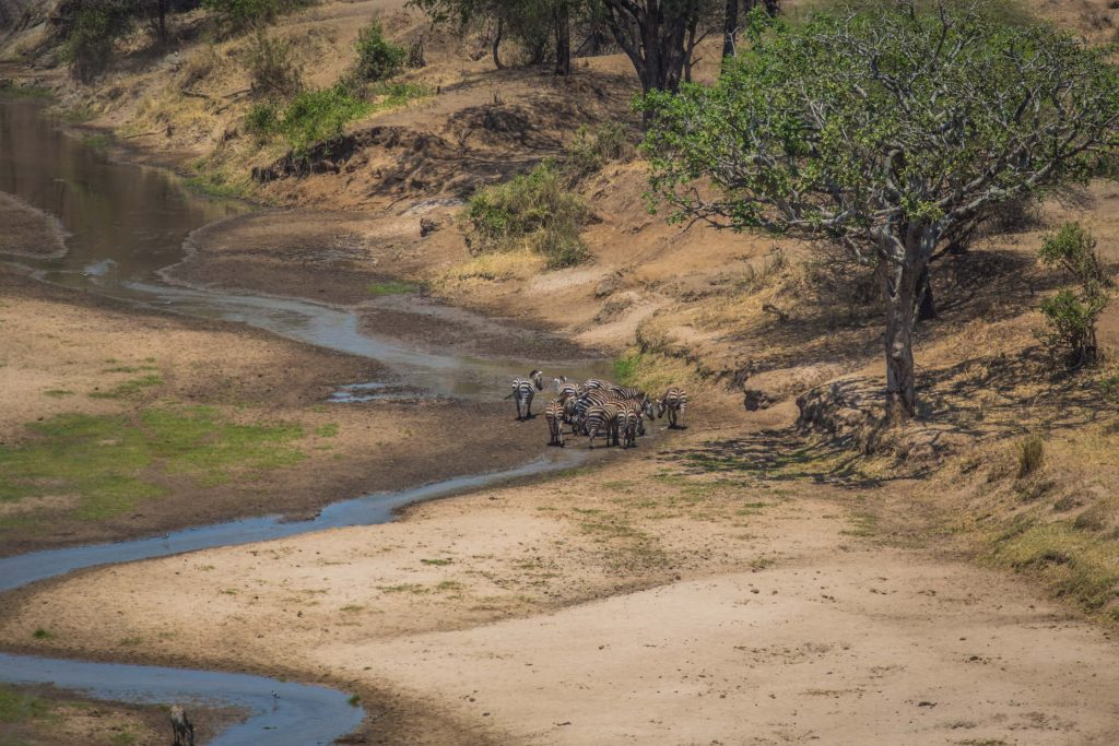 Buffalo crossing a river in Masai Mara