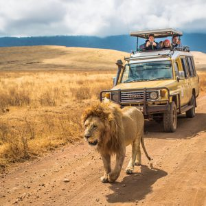 Lion passing by safari cars in male lion in front of safari car in ngorongoro crater