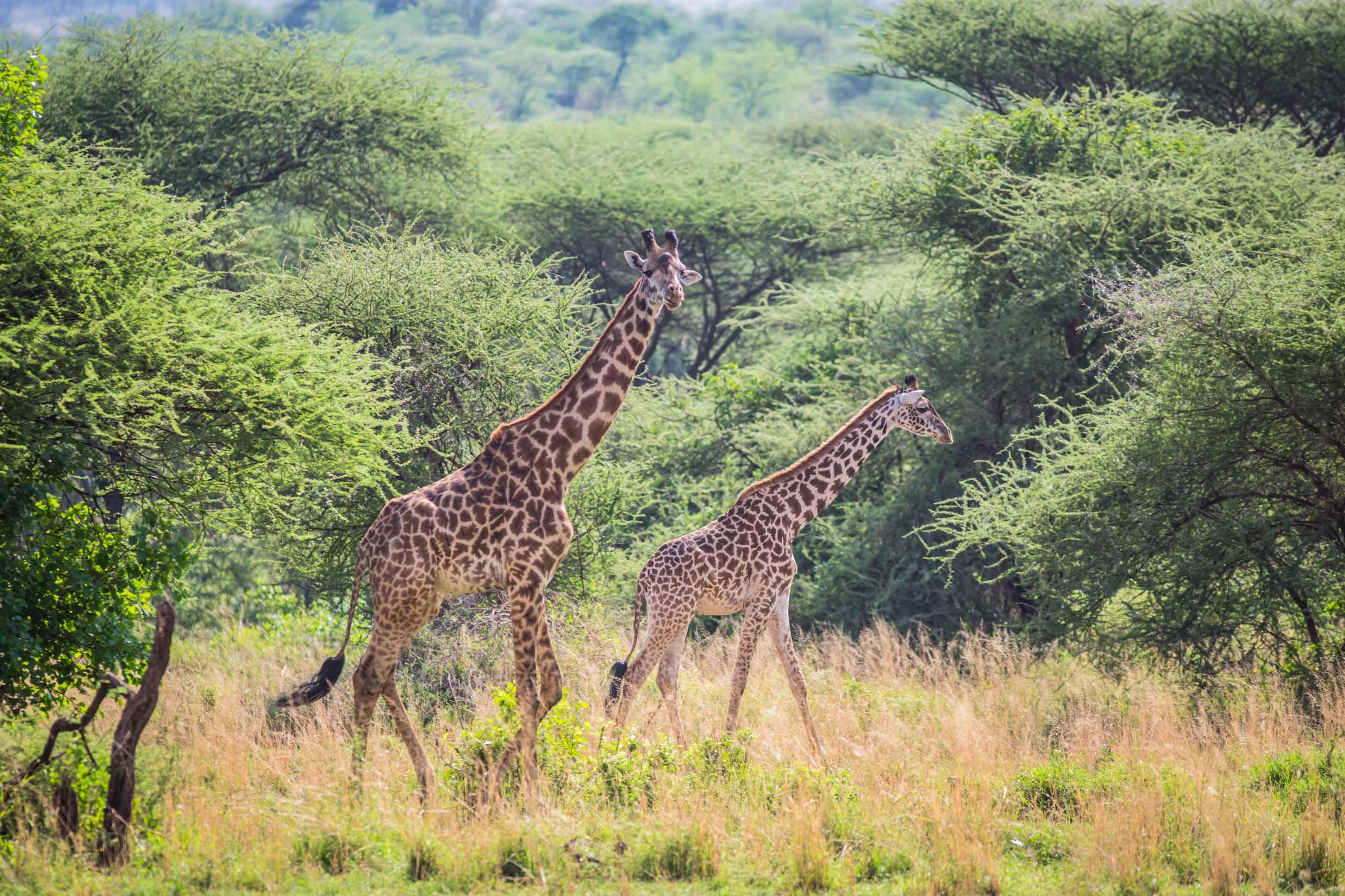 Giraffes are a plenty in Tanzania