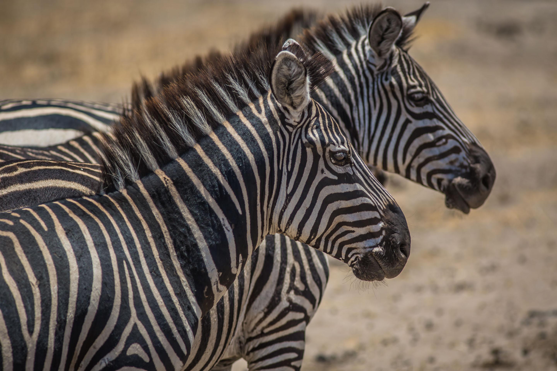 Zebra spotting in Tarangire