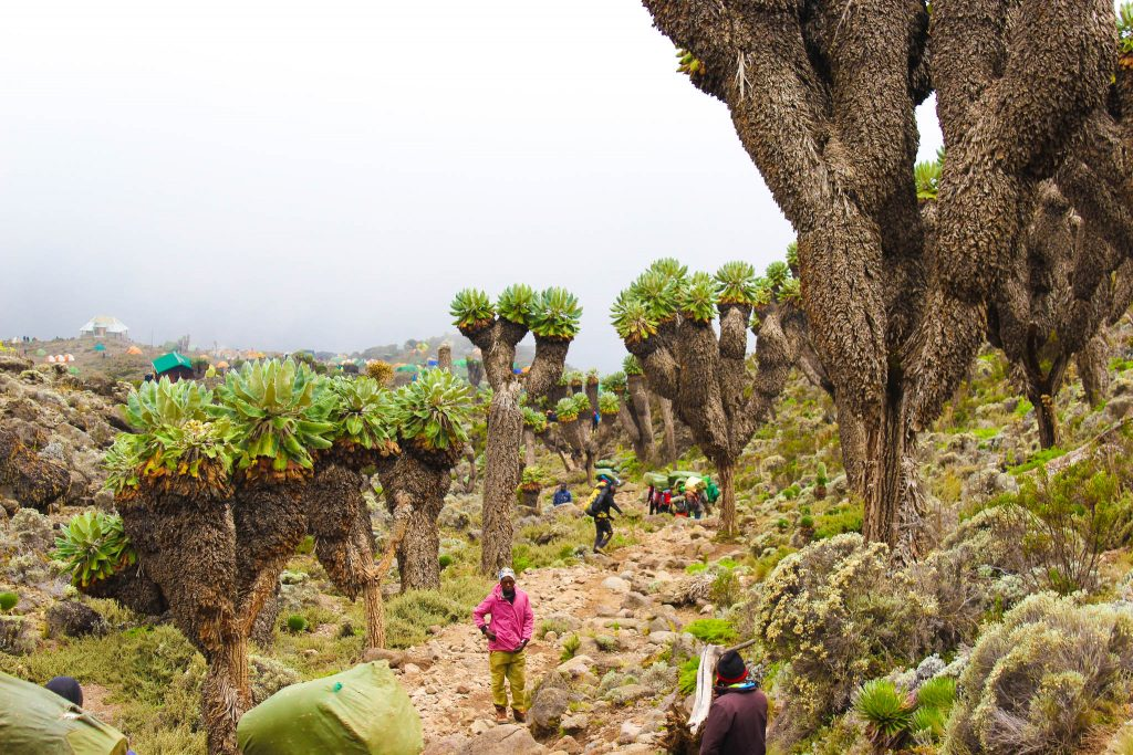 Groundsel Trees on Kilimanjaro