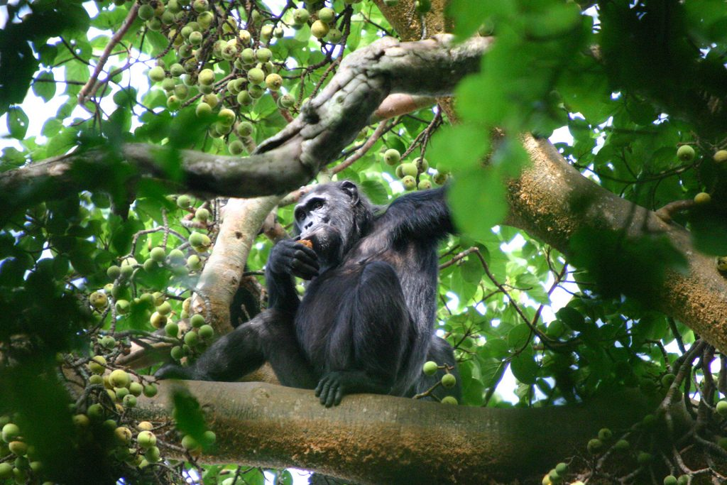 Chimpanzee in a tree. Chimpanzee trekking a best thing to do after climbing Kilimanjaro