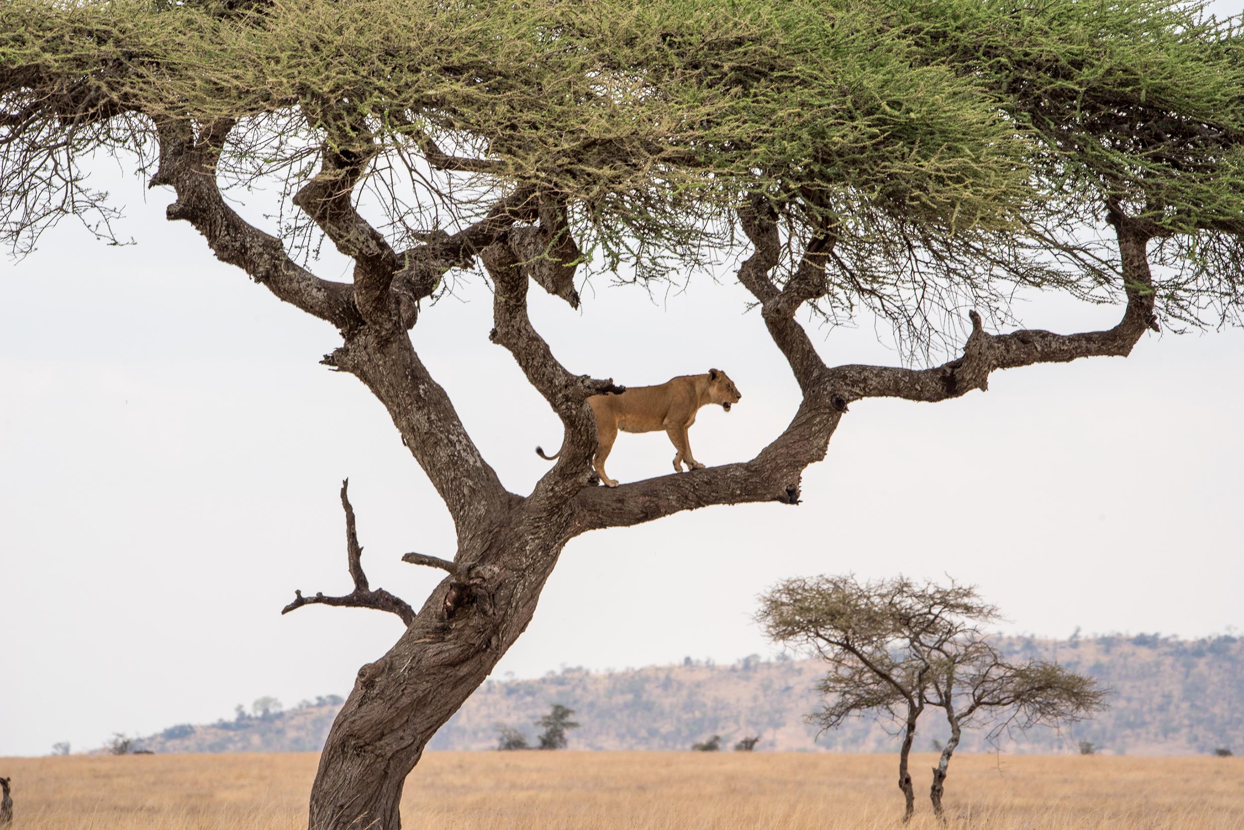 Spot the tree climbing lions