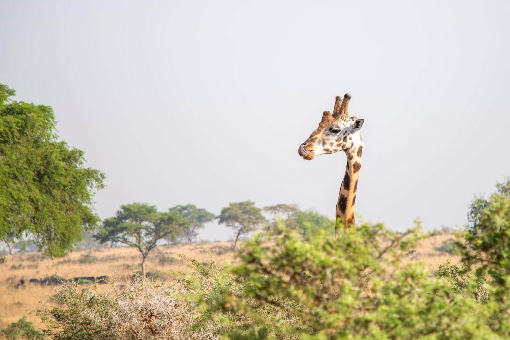 Giraffe. Safari a best thing to do after climbing Kilimanjaro