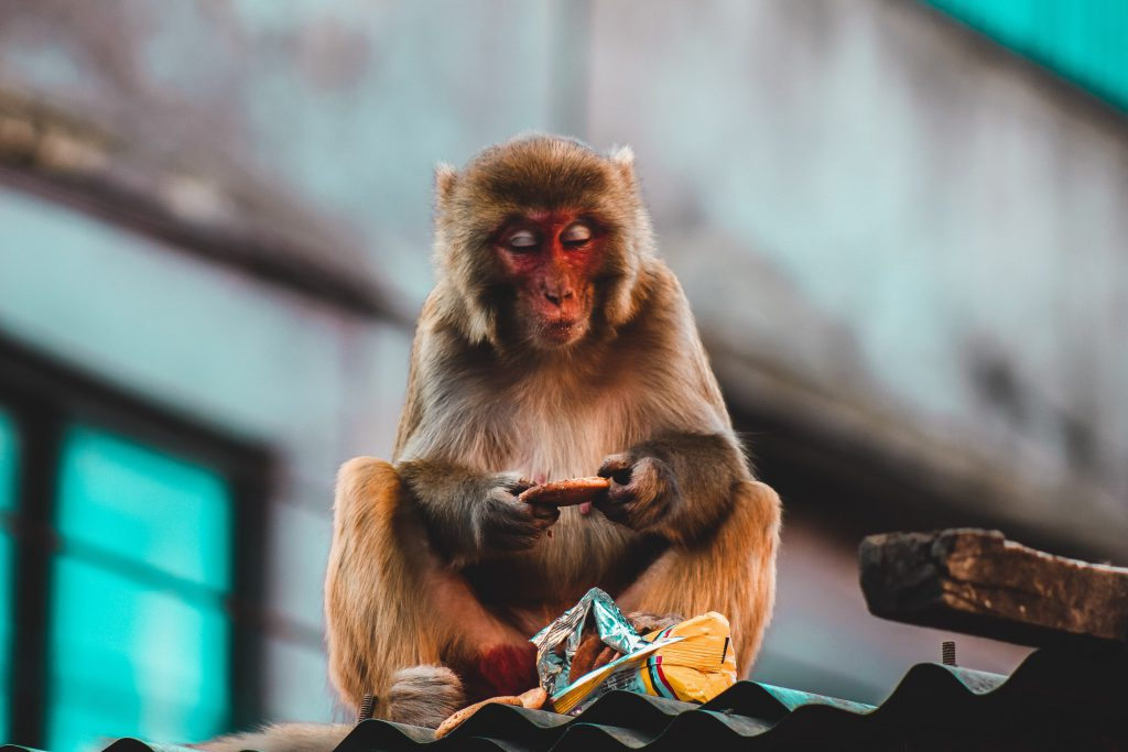 A Rhesus Macaque Monkey in Thamel in Nepal