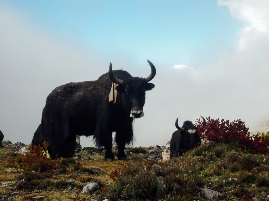 Yak on a hill at Everest Base Camp trek